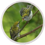 Chestnut-sided Warbler Being Fed Round Beach Towel by Alan Lenk