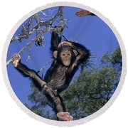 Chimpanzee Young Round Beach Towel by Martin Harvey