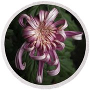 Round Beach Towel featuring the photograph Chrysanthemum 'jefferson Park' by Ann Jacobson