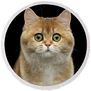 Close-up Portrait Of Golden British Cat With Green Eyes Round Beach Towel