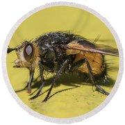 Close Up - Tachinid Fly - Nowickia Ferox Round Beach Towel by Jivko Nakev