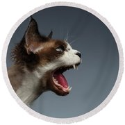 Closeup Devon Rex Hisses In Profile View On Gray  Round Beach Towel