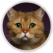 Closeup Golden British Cat With  Green Eyes On Purple  Round Beach Towel by Sergey Taran
