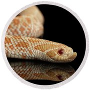Closeup Pink Pastel Albino Western Hognose Snake, Heterodon Nasicus Isolated On Black Background Round Beach Towel by Sergey Taran