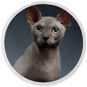 Closeup Portrait Of Sphynx Cat Looking In Camera On Dark  Round Beach Towel