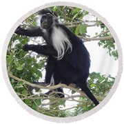 Colobus Monkey Eating Leaves In A Tree Round Beach Towel