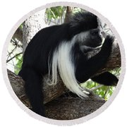 Colobus Monkey Resting In A Tree Round Beach Towel