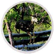 Colorado Mule Deer Jumping A Fense Round Beach Towel