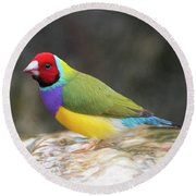 Colorful Lady Gulian Finch  Round Beach Towel by Penny Lisowski