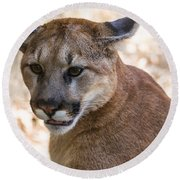 Cougar Portrait Round Beach Towel