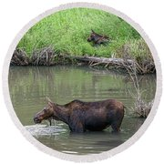 Round Beach Towel featuring the photograph Cow Moose And Calf by James BO Insogna