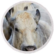 Round Beach Towel featuring the photograph Cows In A Row by Nick Biemans