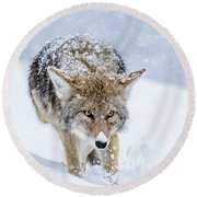 Coyote Coming Through Round Beach Towel