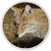 Coyote In The Wild Round Beach Towel