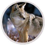 Coyote In Winter Light Round Beach Towel