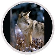 Coyote In Winter Light Round Beach Towel