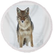 Coyote Looking At Me Round Beach Towel