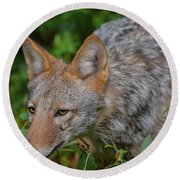 Coyote On The Hunt Round Beach Towel