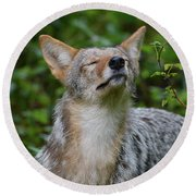 Coyote Soaking Up The Morning Sun Round Beach Towel