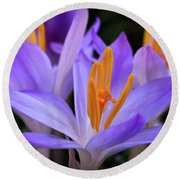 Round Beach Towel featuring the photograph Crocus Explosion by Douglas Stucky