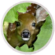 Round Beach Towel featuring the photograph Curous Fawn by Adam Olsen