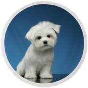 Cute Pure White Maltese Puppy Standing And Curiously Looking In Camera Isolated On Blue Background Round Beach Towel by Sergey Taran