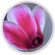 Round Beach Towel featuring the photograph Cyclamen Portrait. by Terence Davis