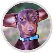 Dachshund Ears Up Round Beach Towel