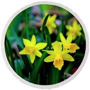 Daffodils A Symbol Of Spring Round Beach Towel