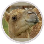 Dromedary Or Arabian Camel Round Beach Towel