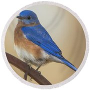Eastern Blue Bird Male Round Beach Towel