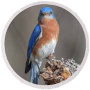 Eastern Bluebird Dsb0300 Round Beach Towel