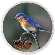 Eastern Bluebird In Spring Round Beach Towel by Amy Porter
