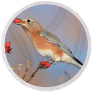 Eastern Bluebird With Berry Round Beach Towel