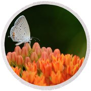 Eastern Tailed Blue On Butterfly Weed Round Beach Towel