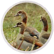 Round Beach Towel featuring the photograph Egyptian Geese by Betty-Anne McDonald