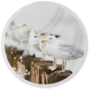 European Herring Gulls In A Row  Round Beach Towel