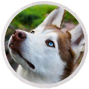 Expressive Siberian  Husky Photo C62017 Round Beach Towel