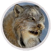 Female Canada Lynx Baring Her Teeth In The Shade Of A Winter For Round Beach Towel