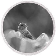 Female House Finch Perched In Black And White Round Beach Towel