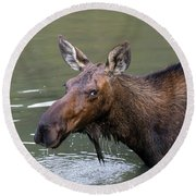 Round Beach Towel featuring the photograph Female Moose Head by James BO Insogna
