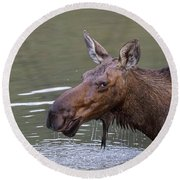 Round Beach Towel featuring the photograph Female Moose Head Shot by James BO Insogna