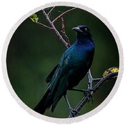 Male Boat-tailed Grackle Round Beach Towel by Cyndy Doty