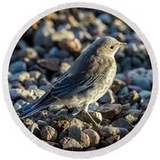 Fledgling Mountain Bluebird Round Beach Towel