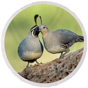 Gambels Quails In Love Round Beach Towel