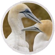 Round Beach Towel featuring the photograph Gannet Pair 1 by Werner Padarin