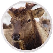 Round Beach Towel featuring the photograph Gaze From A Bull Elk by Jeff Swan