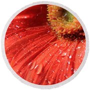 Gerbera Daisy After The Rain Round Beach Towel