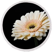Round Beach Towel featuring the photograph Gerbera Daisy On Black II by Clare Bambers