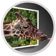 Giraffe Feeding Out Of Frame Round Beach Towel